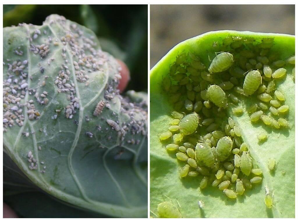 Вредители капусты и как с ними бороться народными средствами