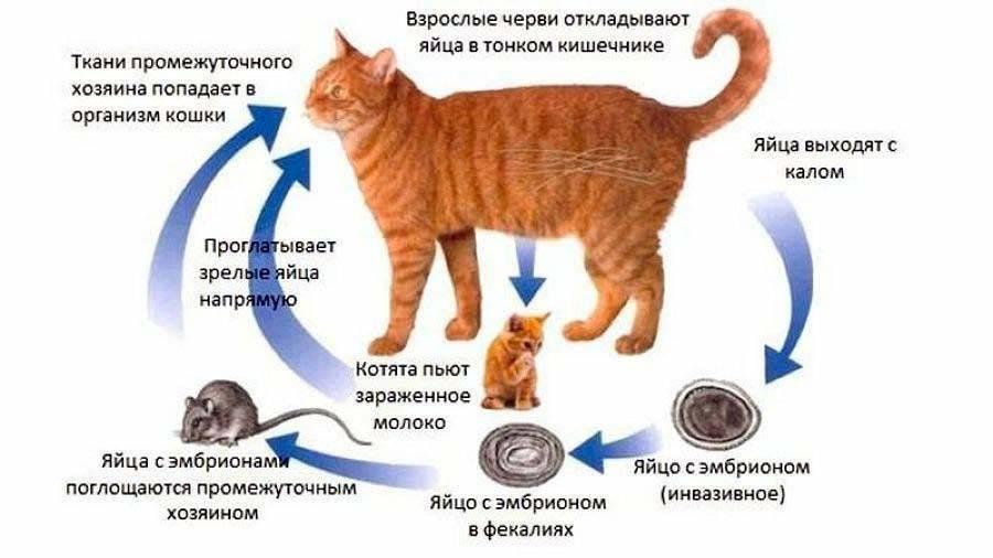 У кошек есть ли вши — разбираемся подробно