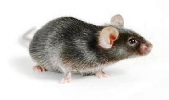 Болезни переносимые мышами и крысами