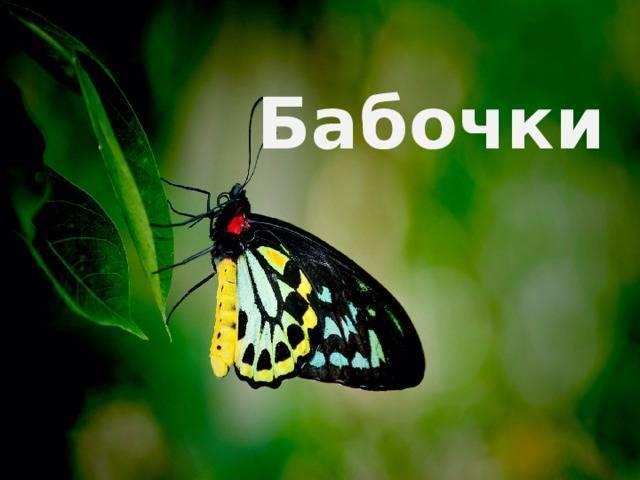 Бабочка лимонница: описание, фото, интересные факты
