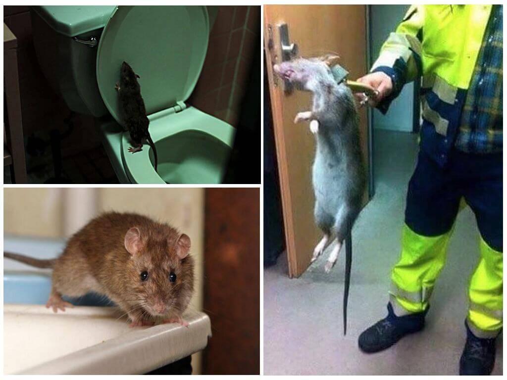 Белая крыса в унитазе
