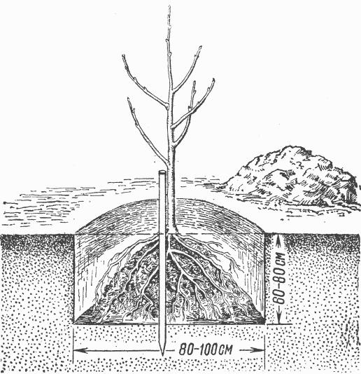 Грушевый галловый клещ — средства и методы борьбы на груше