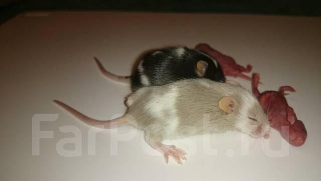 Как мышке лучше питаться, есть разновидность дикой и домашний мыши