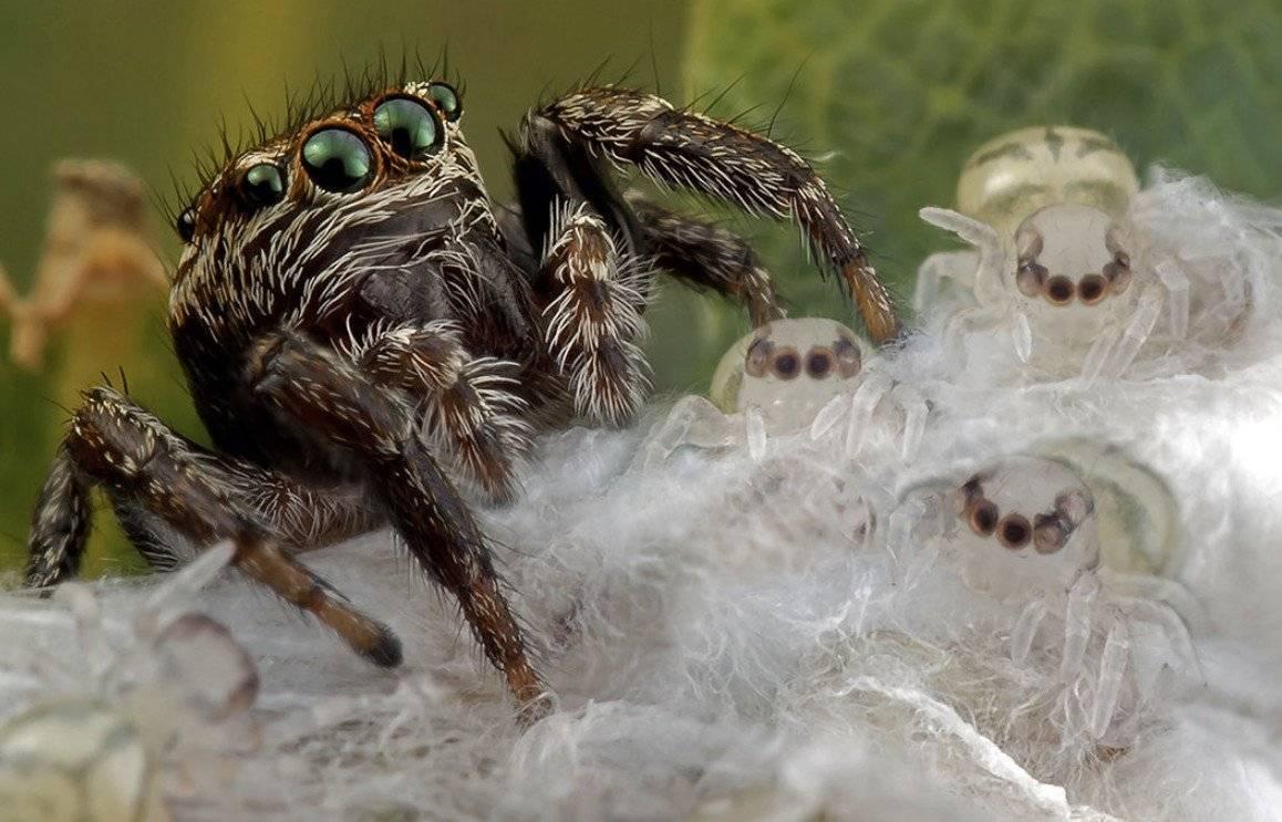 Кто такие пауки-скакуны и где они обитают. паук-скакун – самый стремительный представитель своего семейства паук - убийца