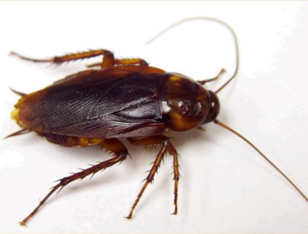 Американский таракан и его фото