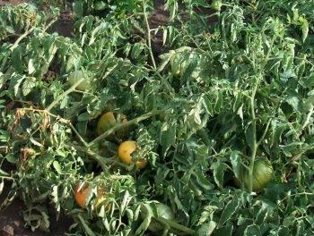 Чем обработать помидоры от тли