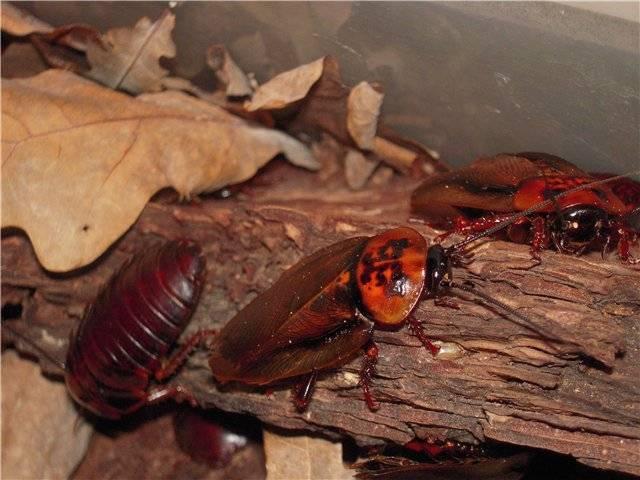 Кубинский таракан или мертвая голова в домашнем инсектарии