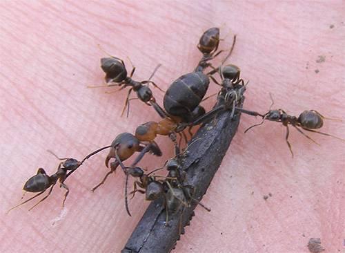 Какой вес поднимает и сколько весит муравей?