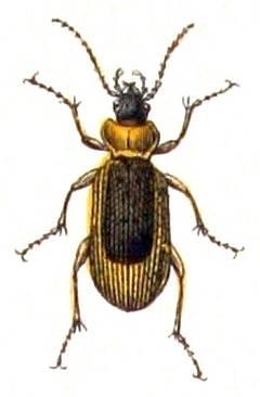 Описание бронзовки золотистой: жизненный цикл большого зеленого жука
