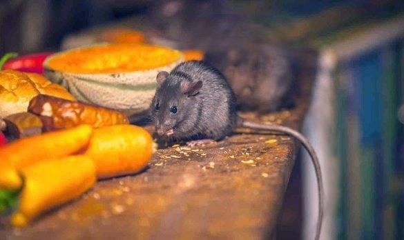 Чем питаются мыши