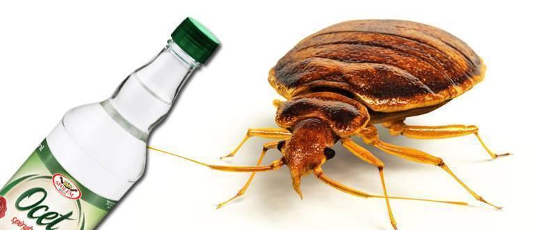 Помогает ли уксус против клопов? как вывести паразитов и можно ли это сделать? рецепты народных средств