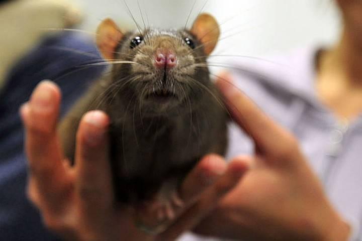 Болезни, которые переносят дикие мыши и крысы