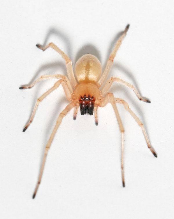 Черные вдовы – вид смертоносных пауков, широко распространенных по всему миру. чёрная вдова паук. образ жизни и среда обитания чёрной вдовы сообщение про паука черная вдова