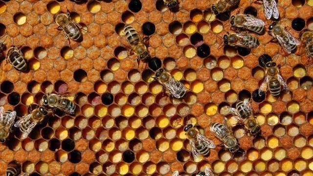 Все о пчелином яде и его применении в лечении