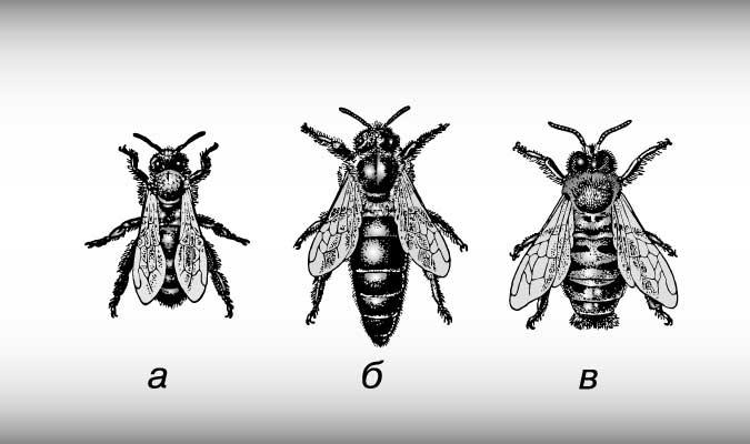 Медоносные пчелы. вид, строение тела и зрительная система
