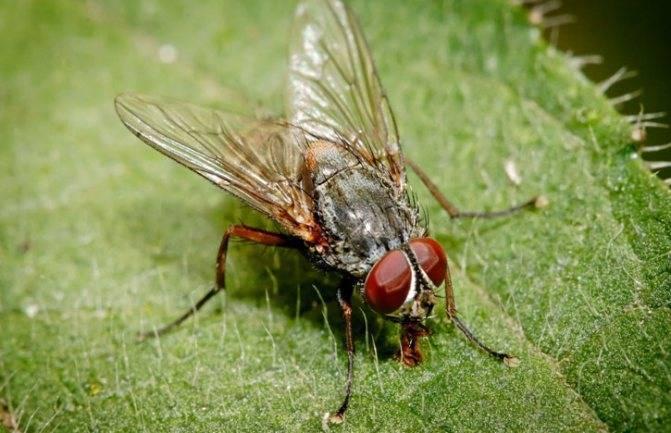 Сколько длится жизнь обычной мухи