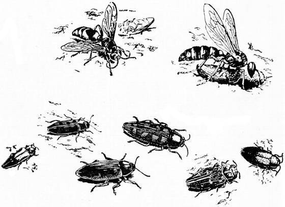 Трубковерт – жук, сворачивающий листья в трубочки