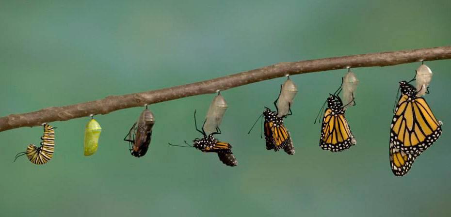 Как гусеница становится бабочкой
