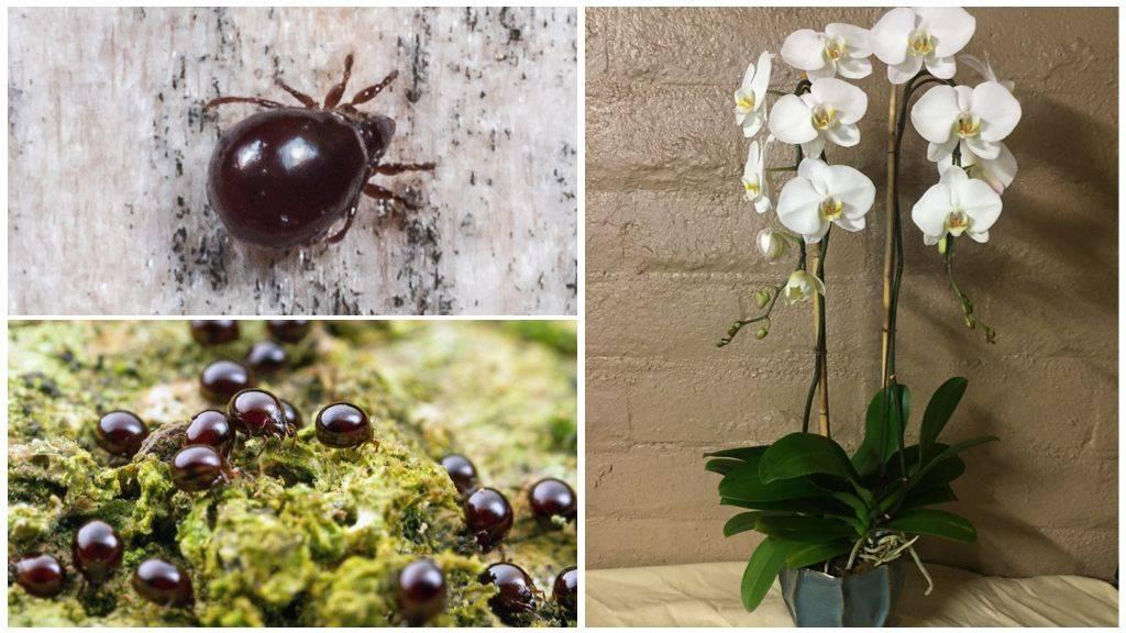 Клещ на орхидее — как избавиться от вредителя