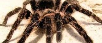 К к чему снятся тарантулы