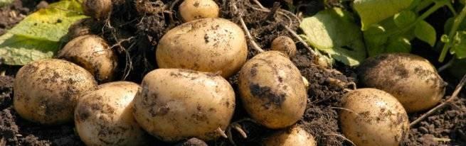 Система из 10 шагов: как избавиться от проволочника в огороде навсегда