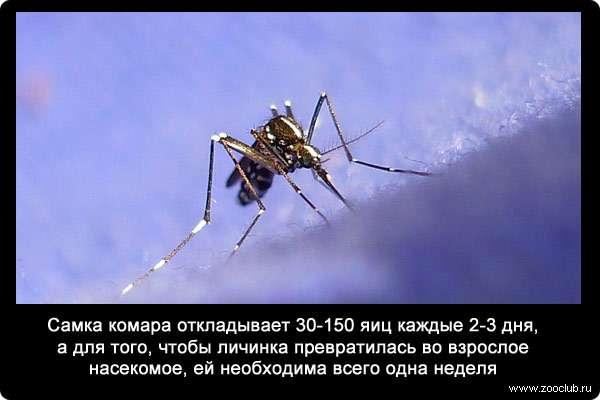Почему нужно уничтожать личинки комаров