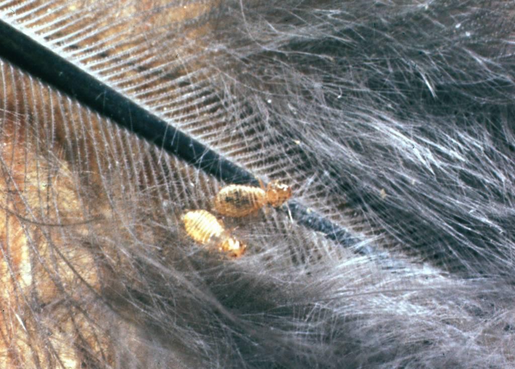 Куриные вши: фото, описание, как избавиться