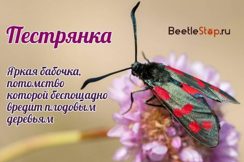 Пестрянка: яркая бабочка, вредящая саду