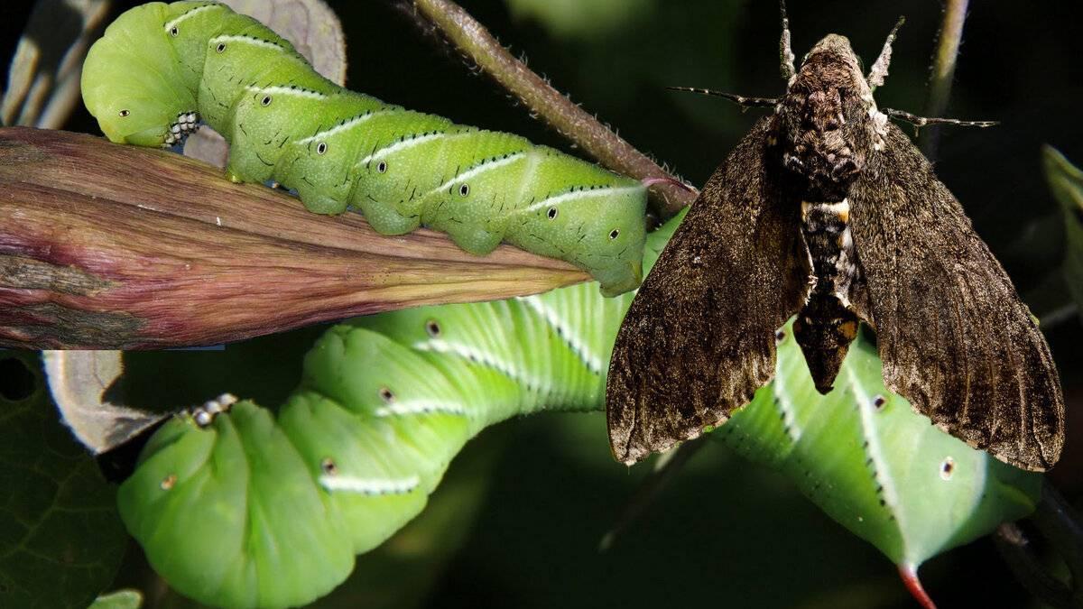 Как бороться с гусеницами в теплице и в открытом грунте