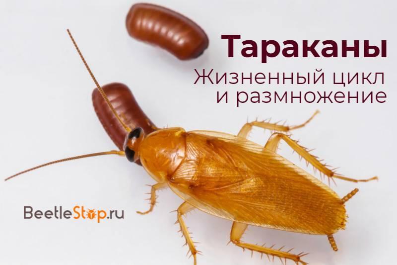 Все о том, как размножаются тараканы и полезные советы о предотвращении быстрого размножения