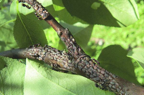 Чем опасна тля для груши и как спасти дерево от вредителя