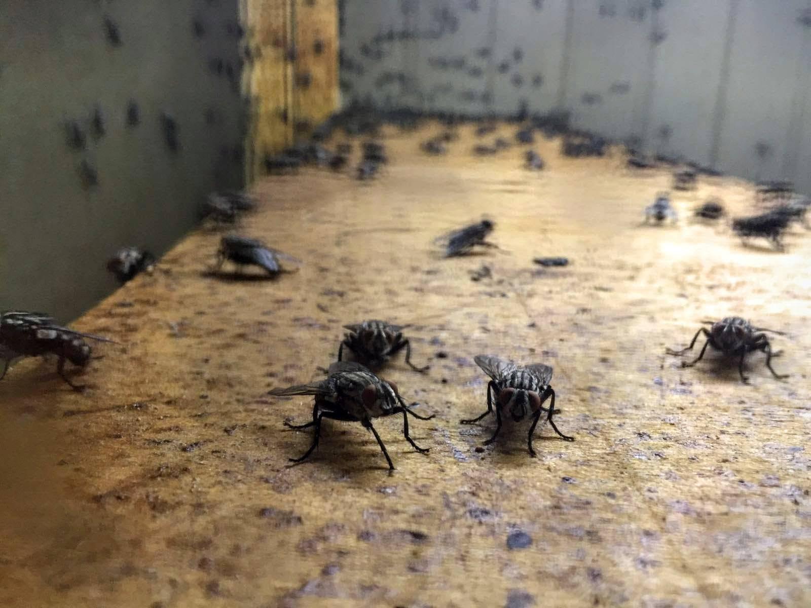Личинка мухи: как выглядит и как вылупляется из яйца? где мухи откладывают яйца?