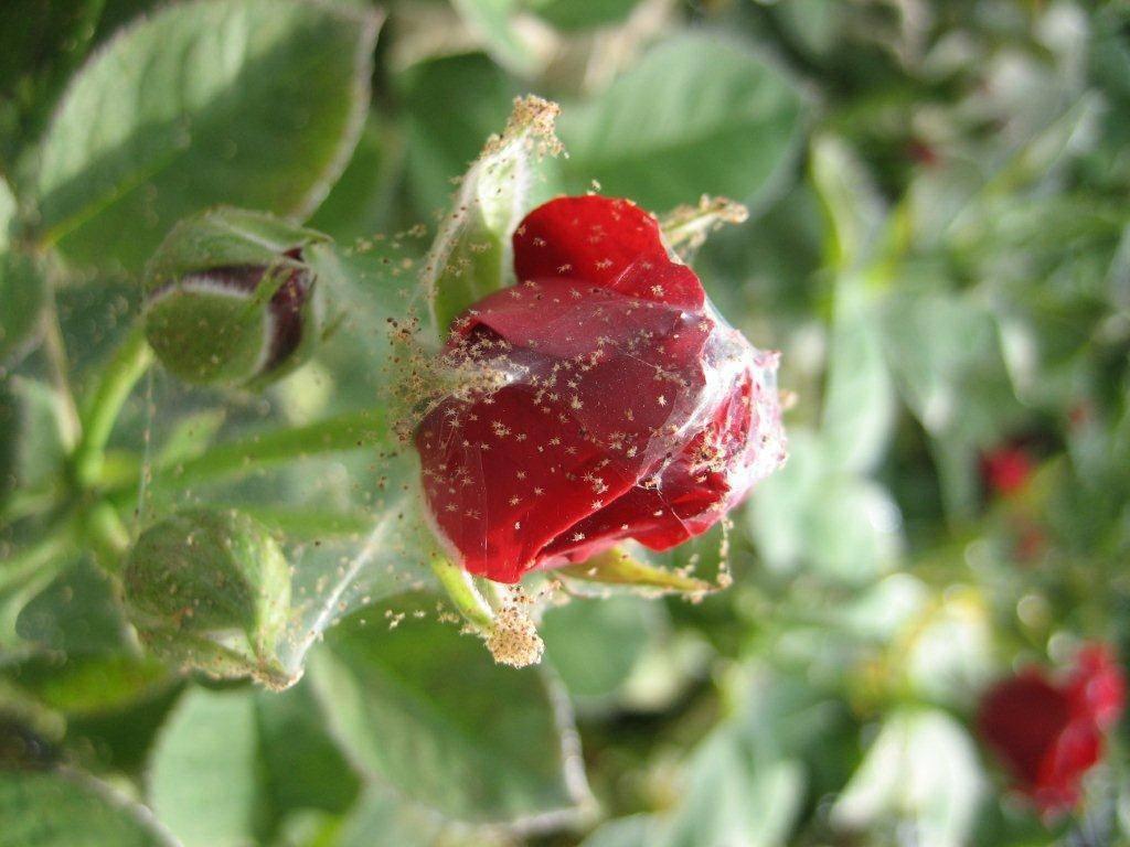 20 легких способов избавления от паутинного клеща в теплице