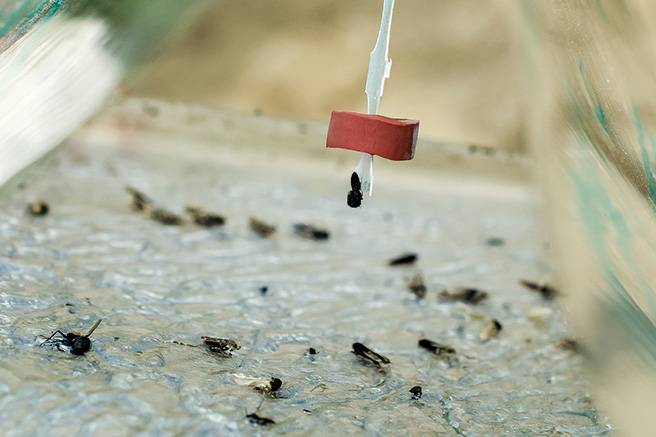 Борьба с тлей при помощи опрыскивания водкой