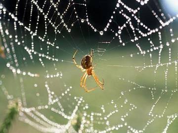 Светлый паук