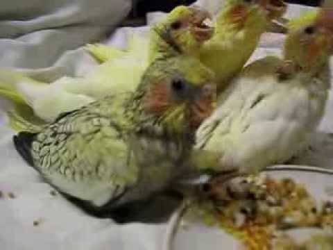 Как избавиться от куриного клеща в курятнике