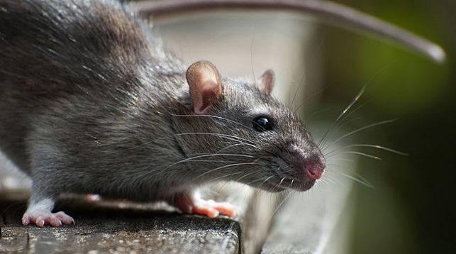 Что делать если укусила крыса уличная