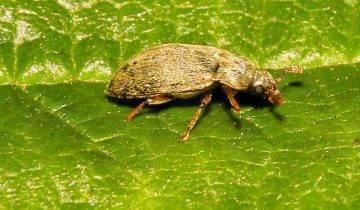 Борьба с личинками майского жука на клубнике