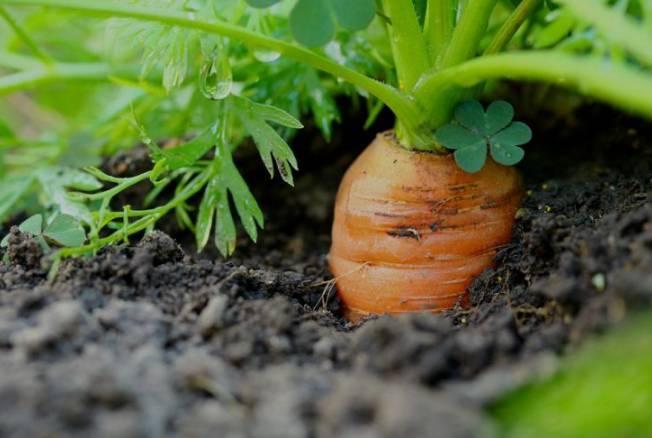 Как бороться с мошкой на моркови