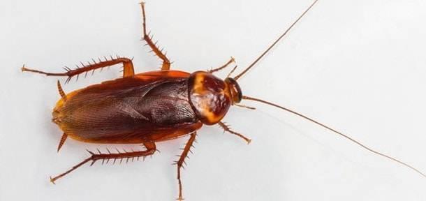 Американский таракан, или красный таракан