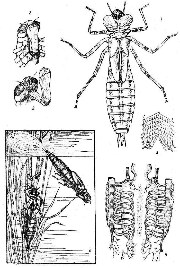 Коромысло камышовое— стрекоза, предпочитающая болота