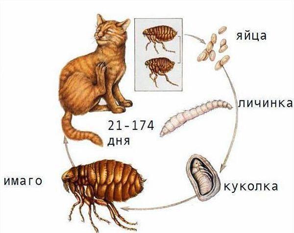 Живут ли блохи без животного в квартире?
