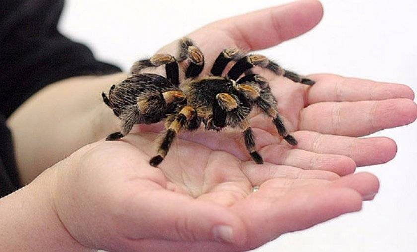 Все о содержании пауков в домашних условиях