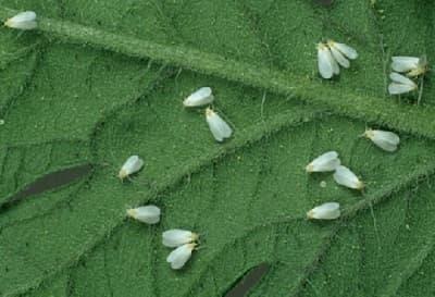 Народные способы отпугивания мошек и других насекомых