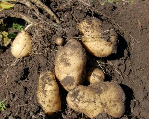Картофельная нематода: как бороться с болезнью, методы борьбы и профилактики