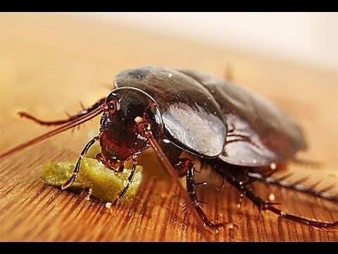 Как разводить регент от тараканов