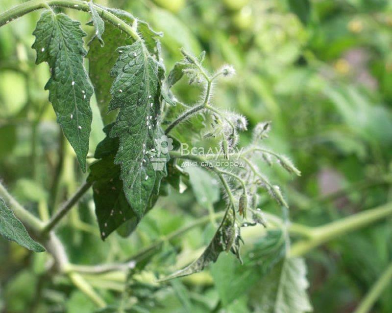 Обработка капусты от вредителей народными средствами и инсектицидами