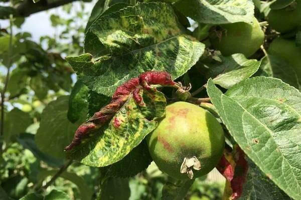Чем можно обработать жимолость от тли во время цветения и плодоношения