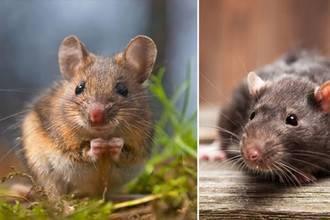 Какого запаха боятся и не переносят мыши и крысы