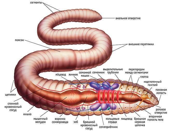 Дождевые черви на наших огородах: полезные свойства, разведение. дождевой червь: образ жизни, среда обитания и польза для почвы